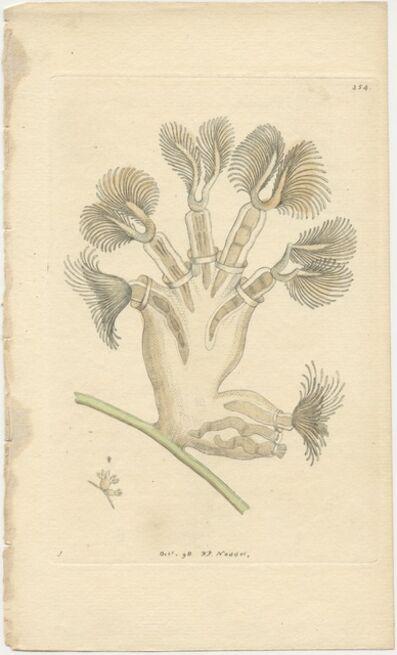 Frederick Polydore Nodder, 'Plate 354: Campanulated Tubularia', 1798