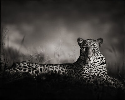 Nick Brandt, 'Leopard staring, Masai Mara', 2010