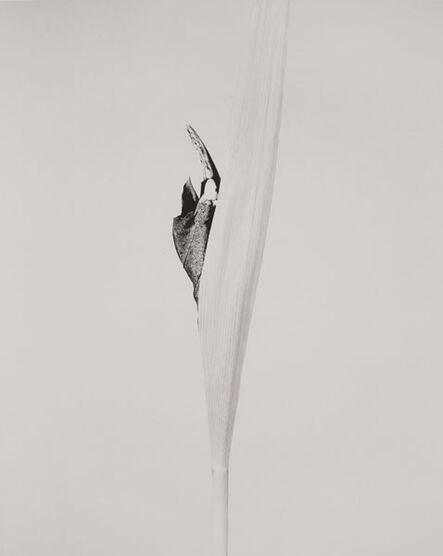 Joan Fontcuberta, 'SERIE HERBARIUM, 1982 - 1985 CORNUS IMPATIENS', 1985
