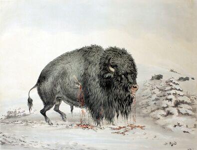 George Catlin, 'Wounded Buffalo Bull', 1844