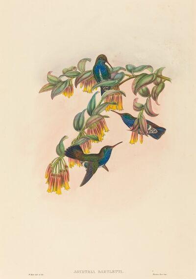 W. Hart, 'Agyrtria bartletti (Bartlett's Emerald)'