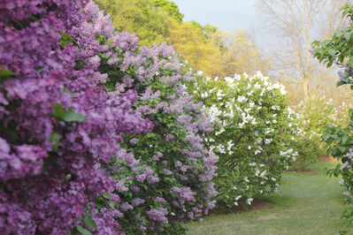 Mary Kocol, 'Lilacs Before the Storm, Arnold Arboretum', 2015