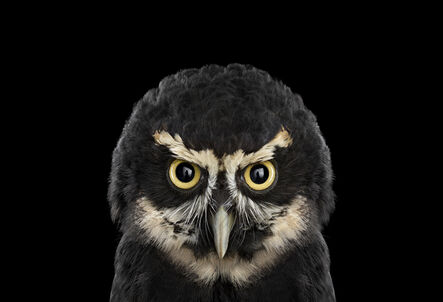 Brad Wilson, 'Spectacled Owl #1, St. Louis, MO', 2012