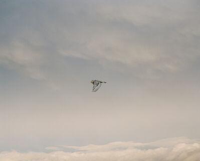 Eamon Mac Mahon, 'Snowy Owl, Haida Gwaii', 2004