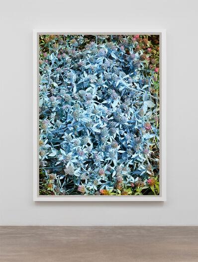Andrew Dadson, 'Red Clover (Trifolium pratense) Blue', 2019