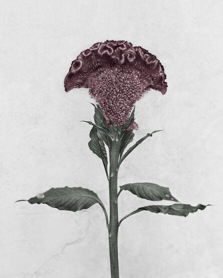 Vee Speers, 'Botanica, Celosia Cristata', 2016