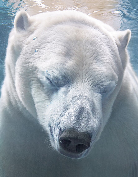Tim Flach, 'Polar Bear Portrait', 2017