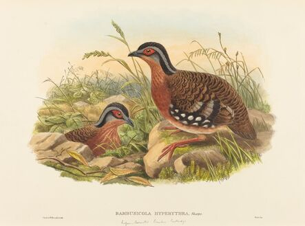 John Gould and W. Hart, 'Rufous-breasted Bamboo Partridge (Bambusicola Hyperythra)'
