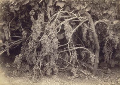 Carleton E. Watkins, 'Thompson's Seedless Grapes', 1880