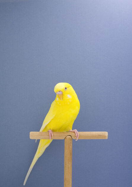 Luke Stephenson, 'Budgie #9, from The Incomplete Dictionary of Show Birds', 2009