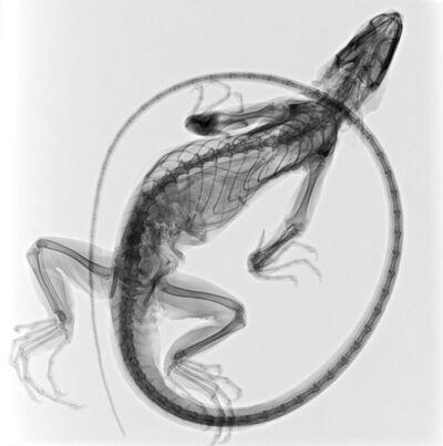 Steve Miller, 'Iguana'