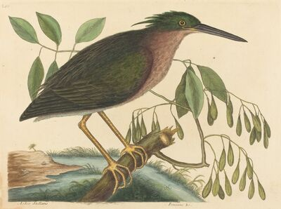 Mark Catesby, 'The Small Bittern (Ardea virescens)', published 1754
