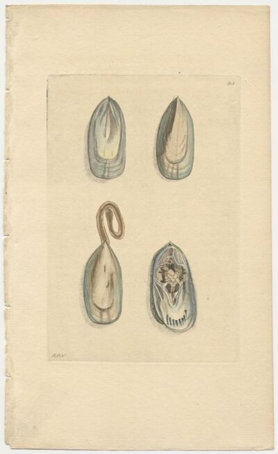 Frederick Polydore Nodder, 'Plate 315: The Duck's-Bill Muscle', ca. 1795