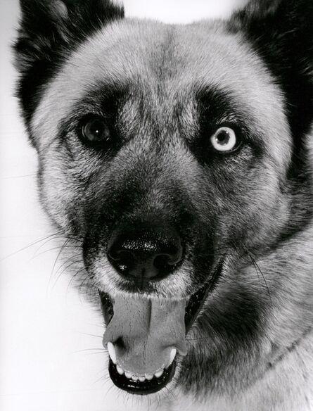 Walter Schels, 'German Shephard Dog', 1991