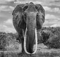 David Yarrow, 'The Final Few', ca. 2017