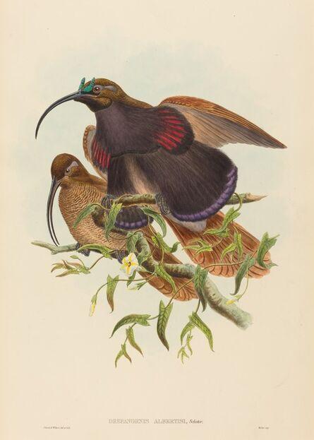 John Gould and W. Hart, 'Drepanornis albertisi (Black-billed Sicklebill Bird of Paradise)'