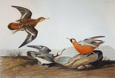 John James Audubon, 'Red Phalarope', 1835