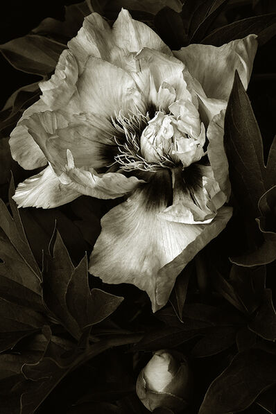 Barry Guthertz, 'Our Peony'