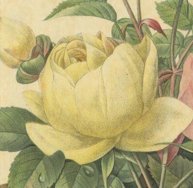 Pierre Joseph Redouté, 'Variete de Rose Jaune et de Rose de Bengale', 1939