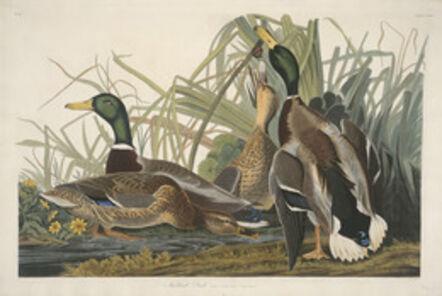 Robert Havell after John James Audubon, 'Mallard Duck', 1834