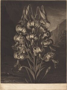 William Ward after Philip Reinagle, 'The Superb Lily', 1799