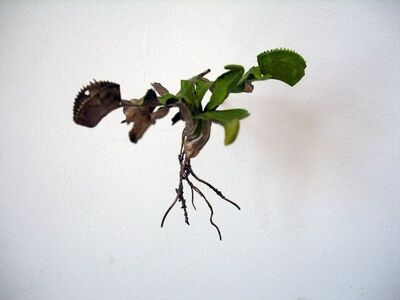Jo Coupe, 'Uprooted (Dionaea muscipula)', 2007