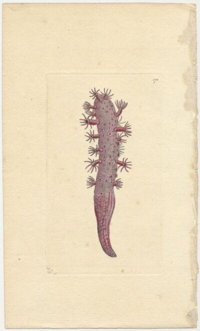 Frederick Polydore Nodder, 'Plate 170: Finger-Shaped Pennatula', ca. 1790