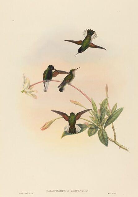 John Gould and W. Hart, 'Callipharus nigriventris (Black-bellied Hummingbird)'