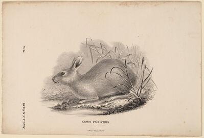Titian Ramsay Peale, 'Lepus Palustris', 1836