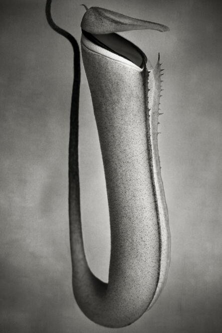 Beth Moon, 'Nepenthes Albomarginata '