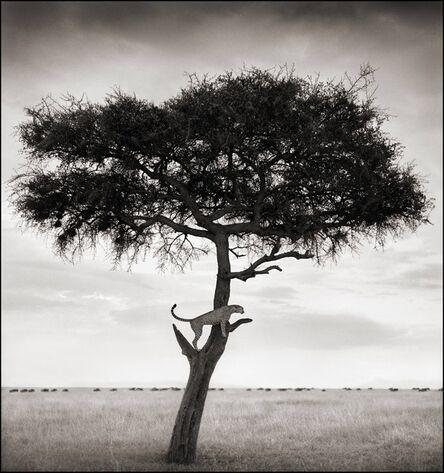 Nick Brandt, 'Cheetah in Tree, Maasai Mara, 2003', 2003