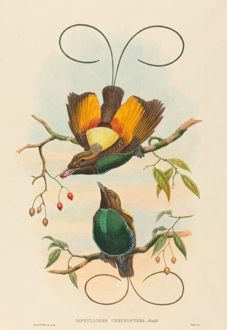 John Gould and W. Hart, 'Diphyllodes chrysoptera (Magnificent Bird of Paradise)'