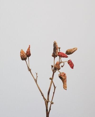 Mauro Piva, 'Seca pimenteira II / Dry pepper II', 2013