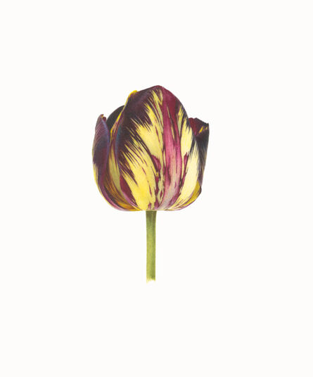 Fiona Strickland, 'TULIPA 'LORD STANLEY' (ENGLISH FLORISTS' TULIP)', ca. 2020