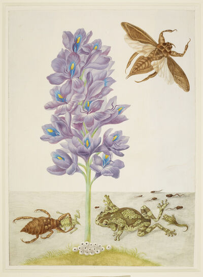Maria Sibylla Merian, 'Water Hyacinth with Marbled or Veined Tree-Frogs and Giant Water-Bugs', 1702-1703