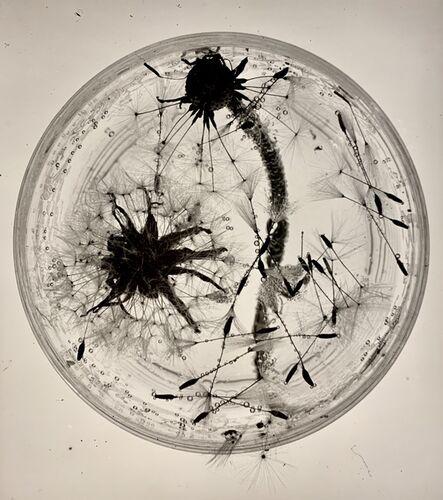 Grete Stern, 'Dandelions, Dessau', 1931