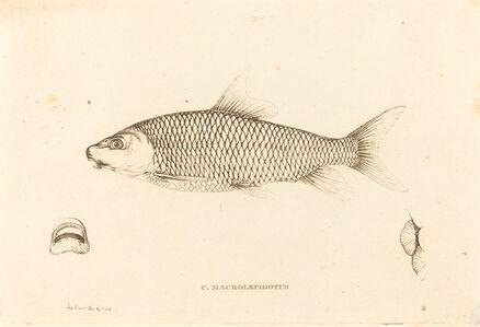 Charles Alexandre Lesueur, 'C. Macrolepidotus', 1817/1821