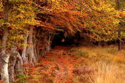 Robert Clamp, 'Beech avenue in autumn'