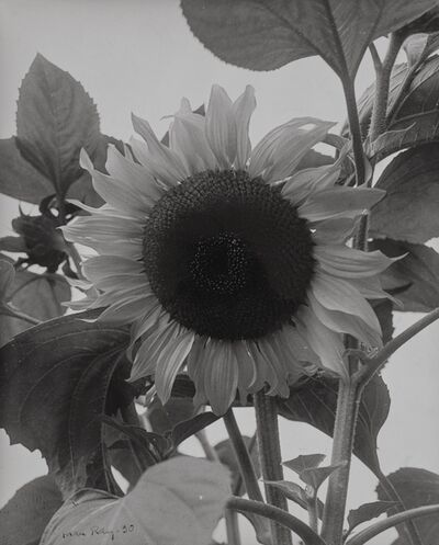 Man Ray, 'Sunflower', 1930