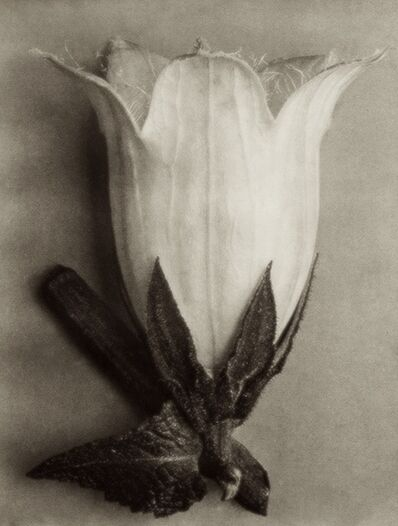Karl Blossfeldt, 'Plate 111 - Campanula alliarifolia, Spurred bellflower '