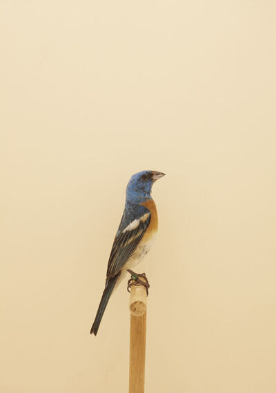 Luke Stephenson, 'Untitled, from 'An Incomplete Dictionary of Show Birds'', 2016