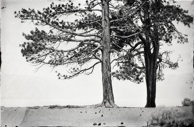 Ian Ruhter, 'JEFFREY PINES', 2015