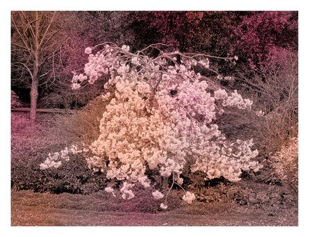Helen Sear, 'Spring Cherry', 2020