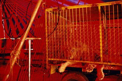 Alex Webb, 'Circus lion. Merida. Mexico. ', 1983
