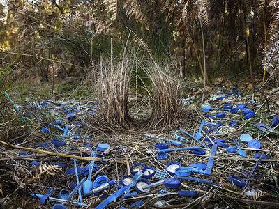 Daniel Naudé, 'Satin Bower 2. Lamington National Park, Queensland, Australia, ', 2014