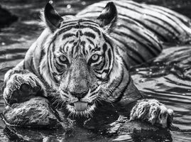 David Yarrow, 'The Queen of Ranthambore', ca. 2018