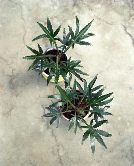 Oskar Dawicki, 'Cannabis Polonica Legalis - Olim Ficus Elastica Robusta', 2004/2010