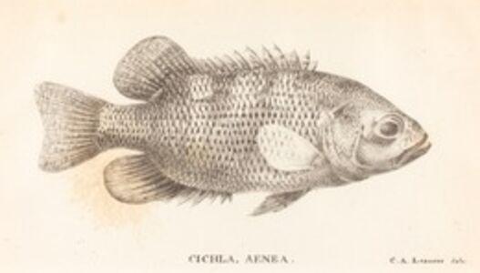 Charles Alexandre Lesueur, 'Cichla, Aenea', 1822