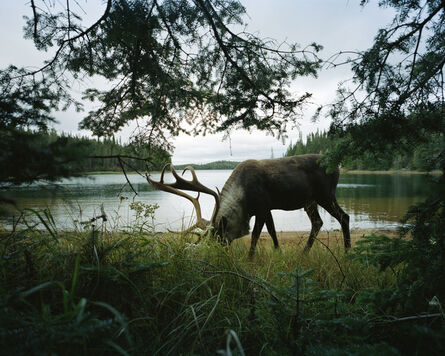 Eamon Mac Mahon, 'Woodland Caribou 2, Slate Islands', 2011