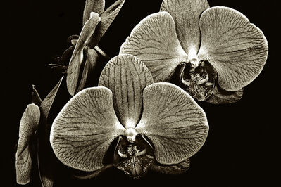 Barry Guthertz, 'Floating Orchids'